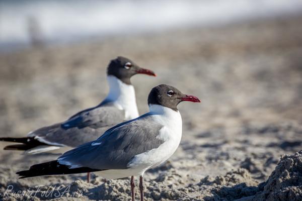 чайки красивое фото