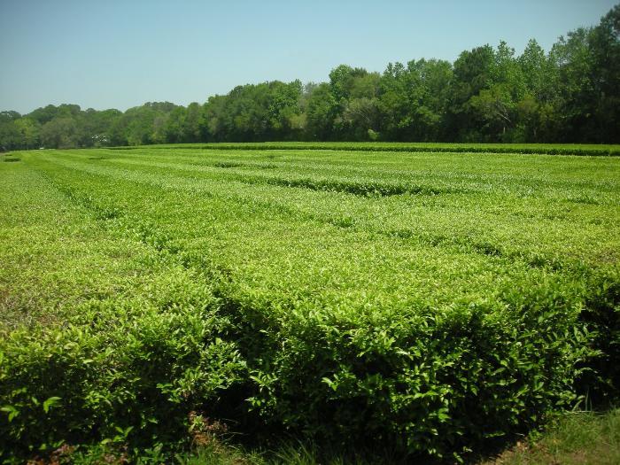 Чайная плантация Чарльстона