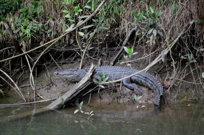 Гребнистый крокодил в мангровых зарослях Квинсленда