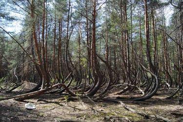 «Танцующий лес» в Шиловском районе