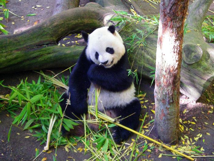 panda in the zoo of san diego