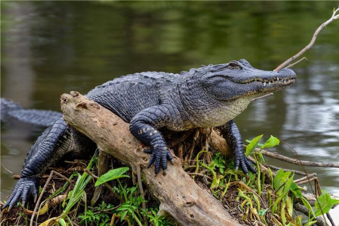 Фото одного из символов Флориды - Миссисипский аллигатор