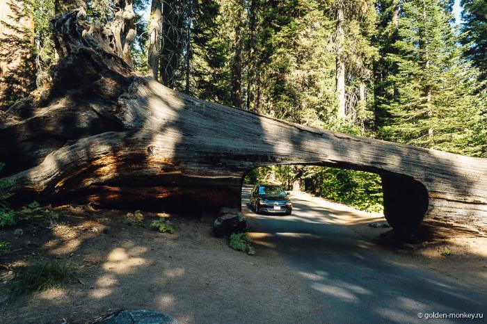 Tunnel Log (туннель в дереве), национальный парк Секвойя, США.