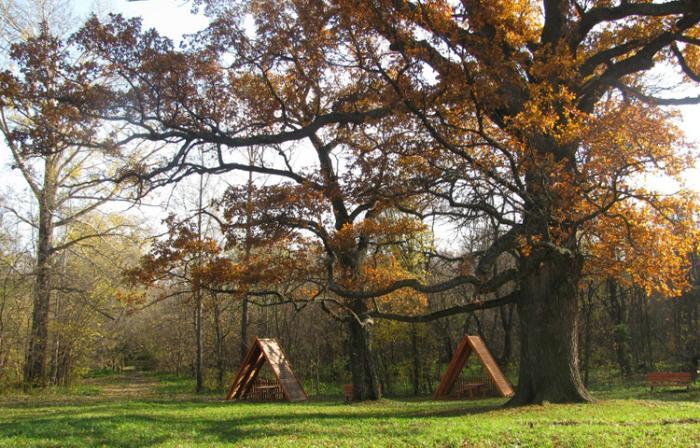 Пятисотлетний дуб