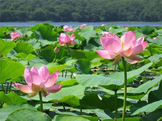 Озеро лотосов, Благовещенск