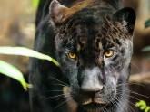 aramis_le_jaguar
