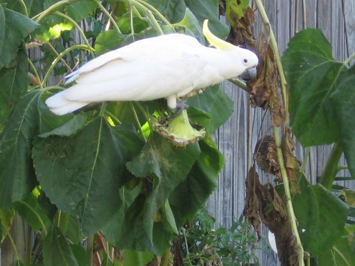 parrot townsville australia
