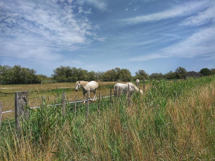 Знаменитые камаргские белые лошади