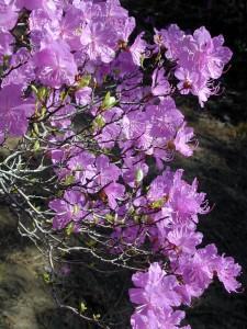 Цветущий багульник (фото О.В. Корсуна)